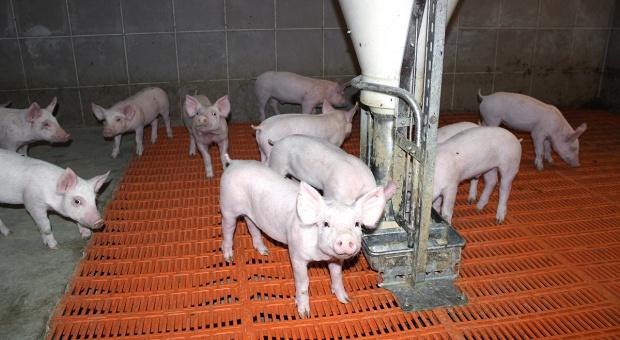 Probiotyki w żywieniu świń