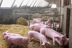 Naukowcy wyhodowali świnie odporne na PRRS