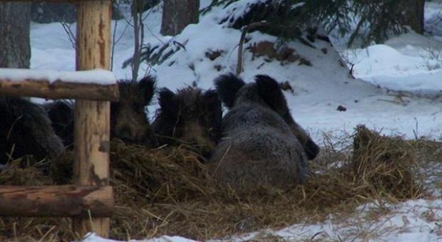 Podkarpackie: 5 tys. ton karmy na zimowe dokarmianie zwierząt