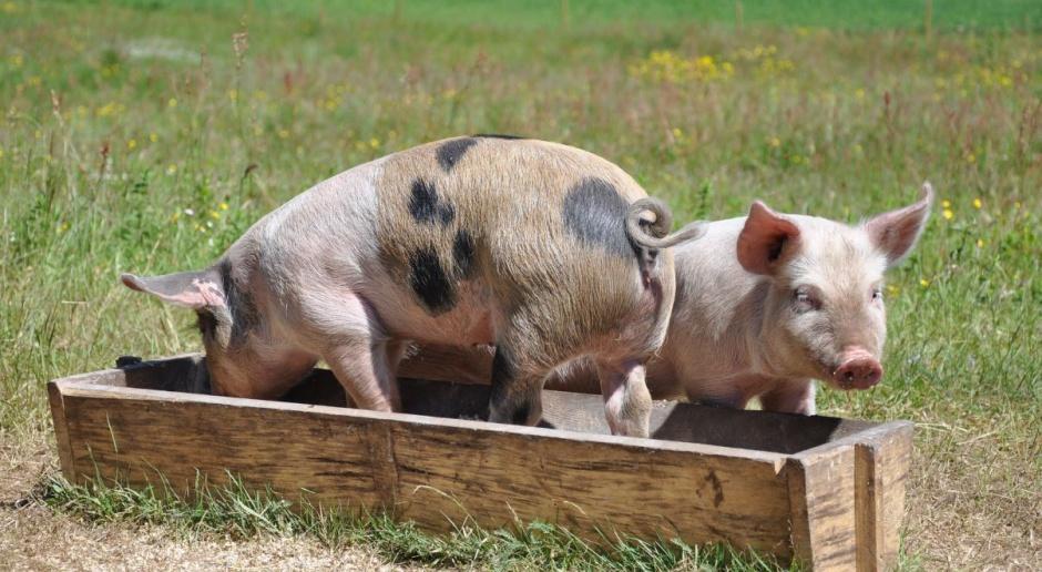 Eksperci: Możliwy jest dalszy spadek pogłowia świń