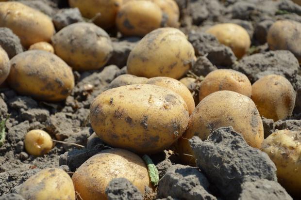 KE: Plony ziemniaków w Unii