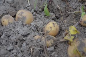 Zbiory ziemniaka o blisko 1 mln t niższe niż w roku poprzednim