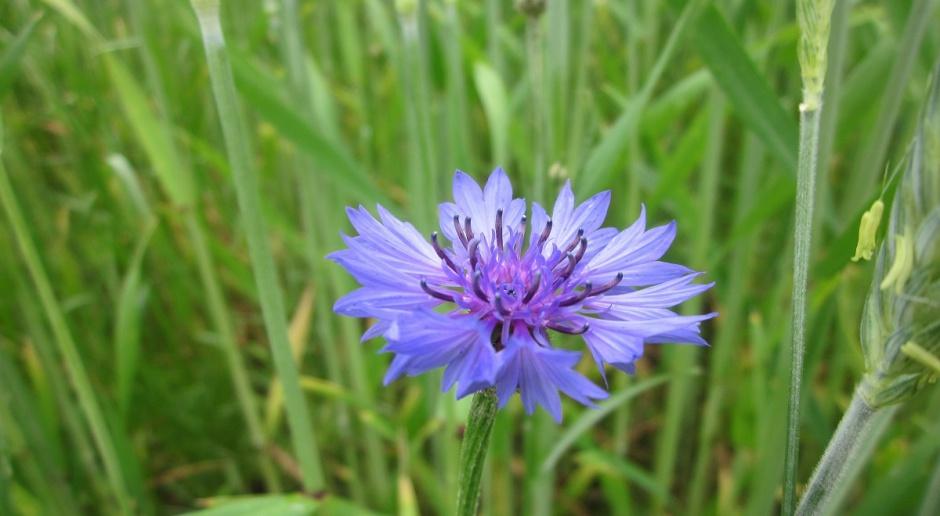 Żywotność nasion chwastów w glebie