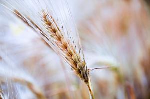 Słaby tydzień na giełdach zbóż