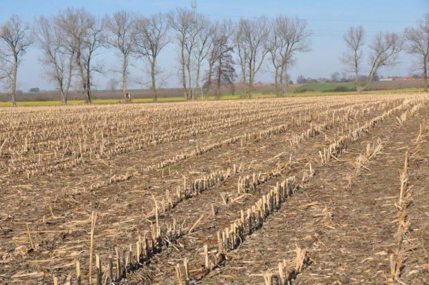 Resztki pożniwne po kukurydzy nadal nie rozdrobnione
