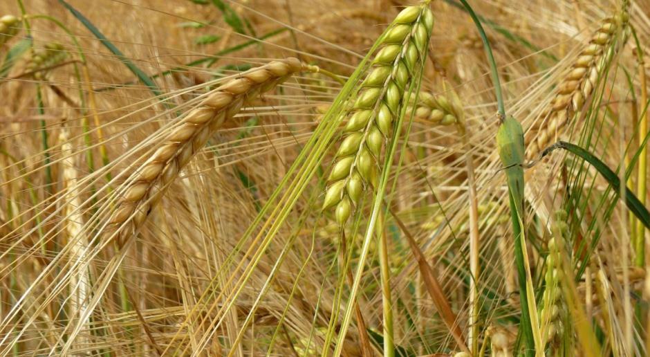 Ponowny spadek cen zbóż w Paryżu i Chicago