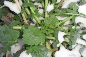 Stopień uszkodzenia roślin należy monitorować natychmiast po ustąpieniu mrozów
