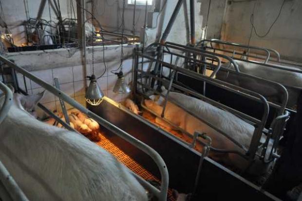 Mikroelementy niezbędne dla zdrowia i rozrodu loch