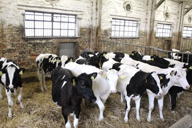 Wychów cieląt w stadach bydła mlecznego
