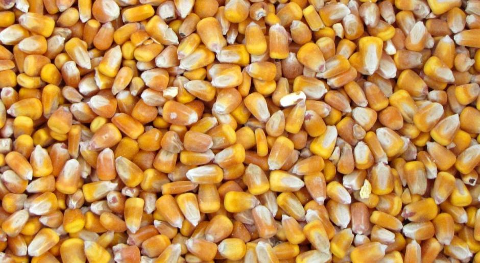 O czym pamiętać stosując kukurydzę w paszach dla świń