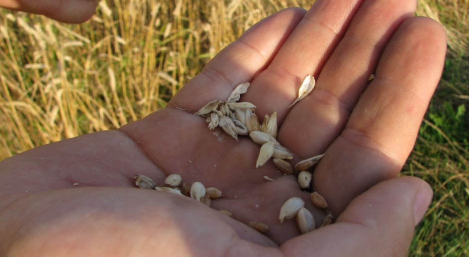 Nowy Rok a ceny zbóż stoją w miejscu