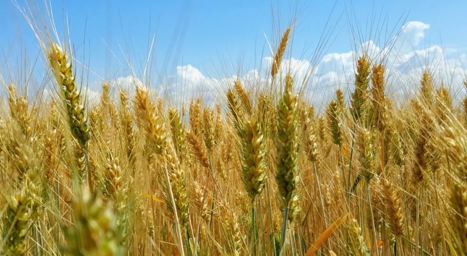 Niewielka zwyżka cen zbóż