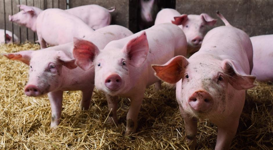 Uzgodnione rozporządzenie ws. pomocy producentom trzody i mleka