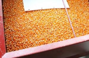 Nie powinno zabraknąć kukurydzy nasiennej