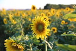 Spada produkcja słonecznika w Unii