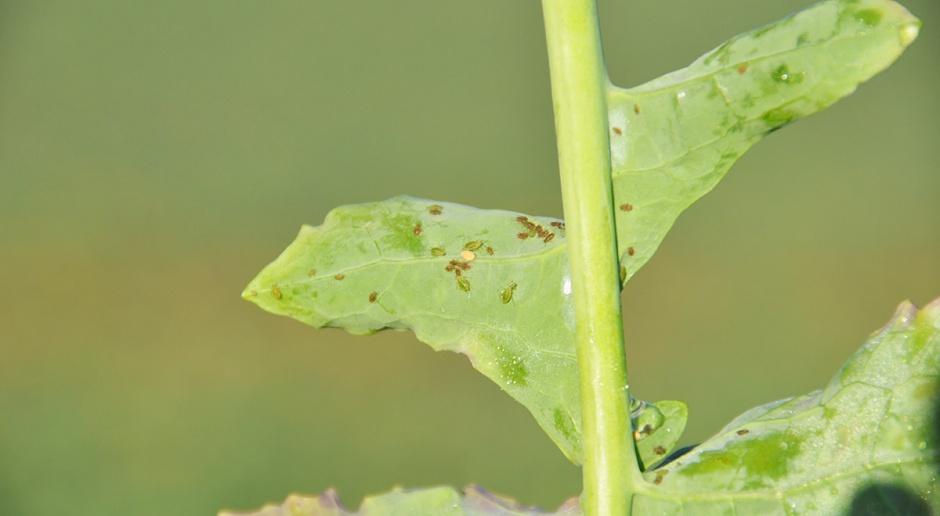 Priming - mechanizm obronny roślin przed szkodnikami
