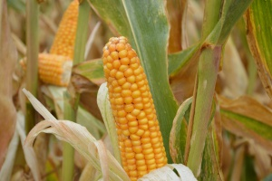 Zapowiadają się wysokie zbiory kukurydzy w Brazylii i Argentynie