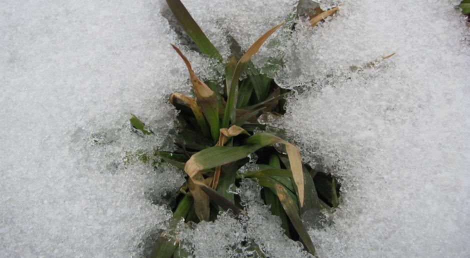 Stopień mrozoodporności pszenicy – czy się sprawdzi w tym sezonie