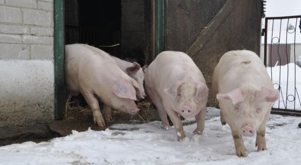 Więksi producenci trzody chlewnej są w lepszej sytuacji (video)