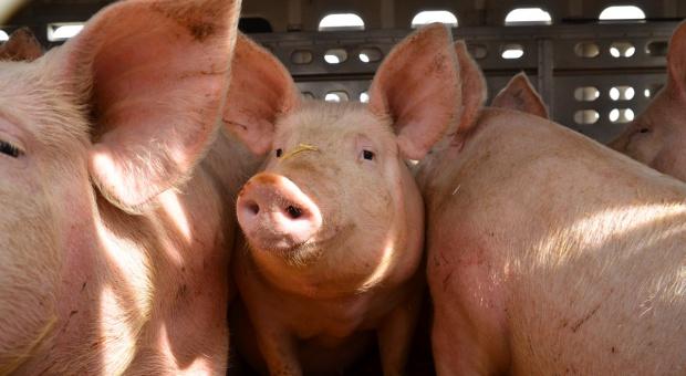 Transport świń również może wpływać na jakość wieprzowiny