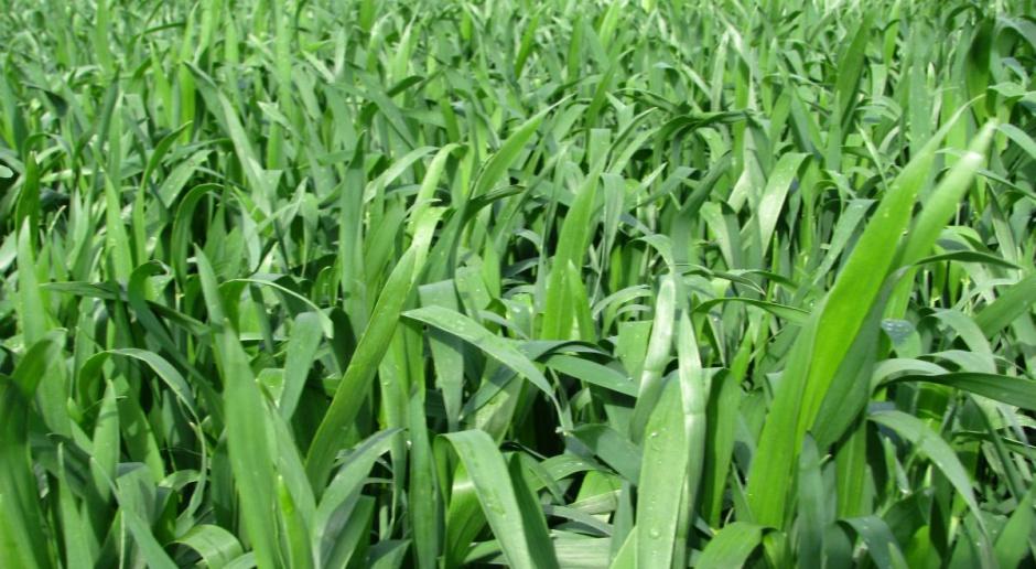 Którą odmianę pszenicy jarej wybrać?