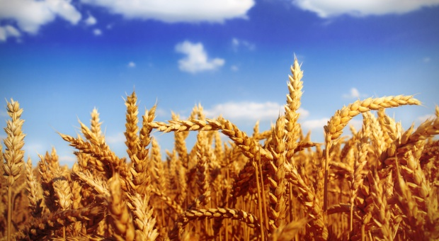 IGC: W sezonie 2016/2017 mniejsze globalne zbiory pszenicy