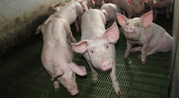 Mocny spadek w pogłowiu świń