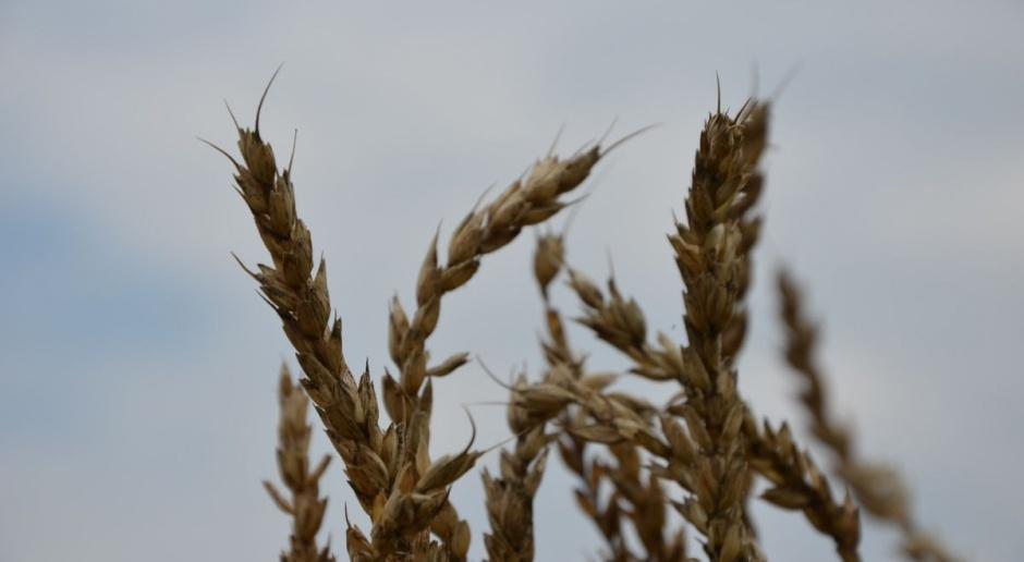 Wzrost kosztów produkcji pszenicy o 418-1046 zł/ha?