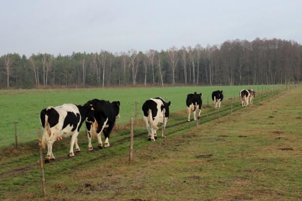 Spada liczba krów mlecznych