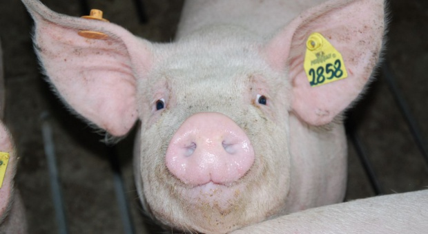 Świnie przyszłością ksenotransplantacji
