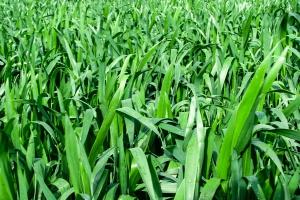 Polecane odmiany pszenicy jarej