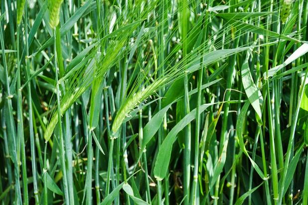 Ekonomiczna efektywność ochrony jęczmienia jarego