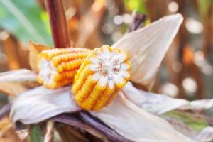 Charakterystyka odmian kukurydzy z 2015 roku