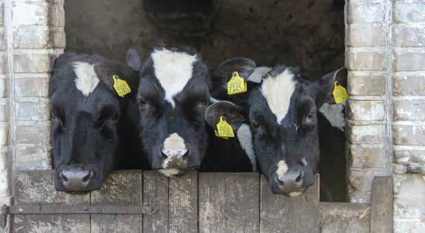 Gdzie występują największe straty w produkcji mleka?