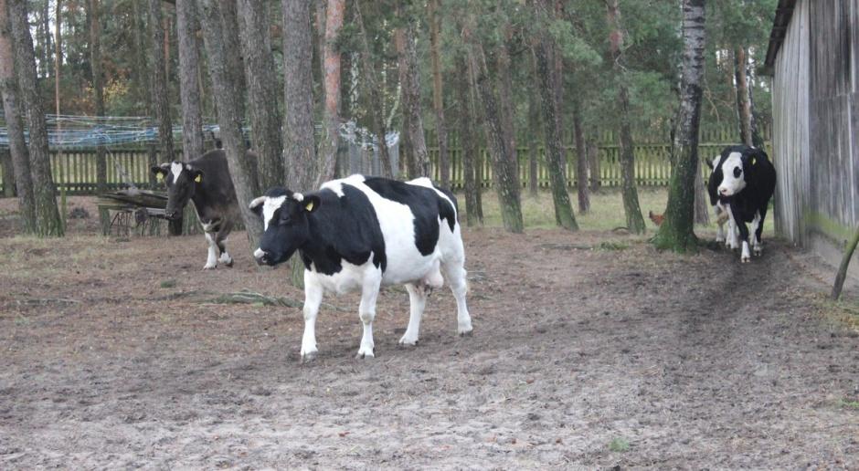 W 2015 roku ponad 20 proc. polskiego mleka wyprodukowano na Podlasiu