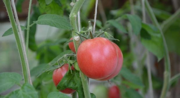 Nowe odmiany warzyw i roślin sadowniczych w rejestrze