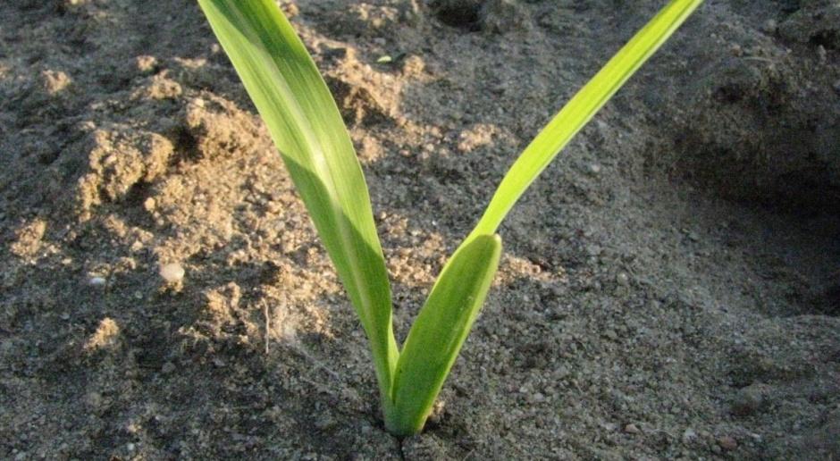 Skutki wycofania wybranych substancji w uprawie kukurydzy