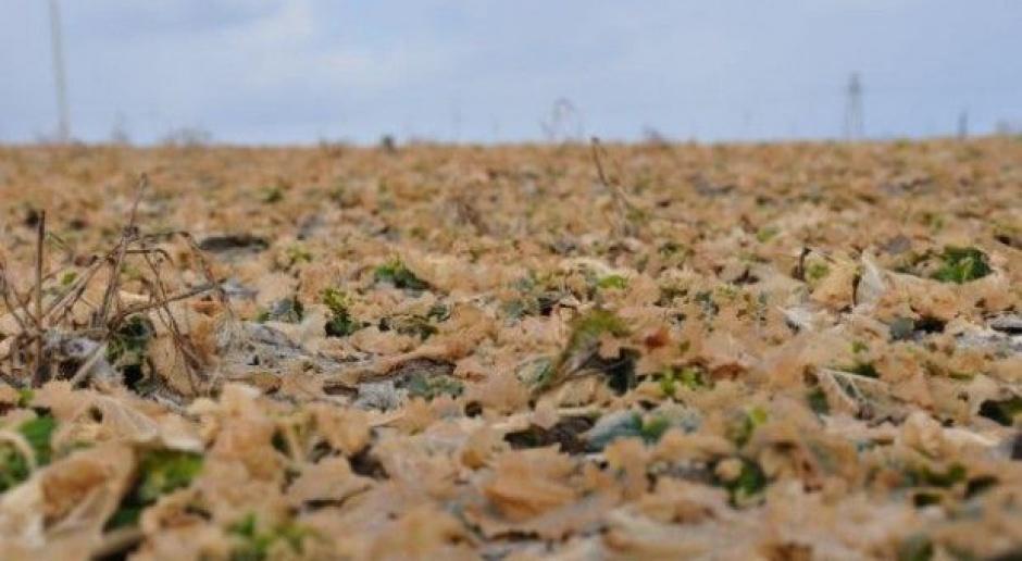 Apelują o szybką ocenę stanu upraw – co gdy trzeba będzie je przyorać?