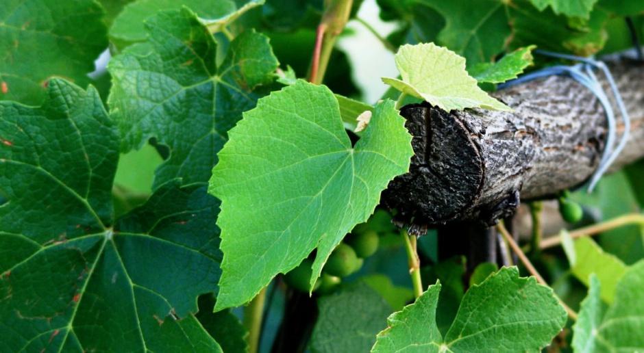 W Jaśle powstaje miejska winnica - pierwsze wina za trzy lata