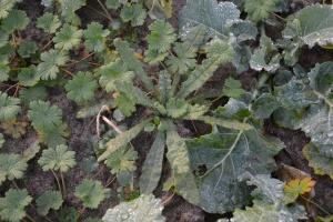 Herbicydy, które KE chce wykreślić z ochrony rzepaku
