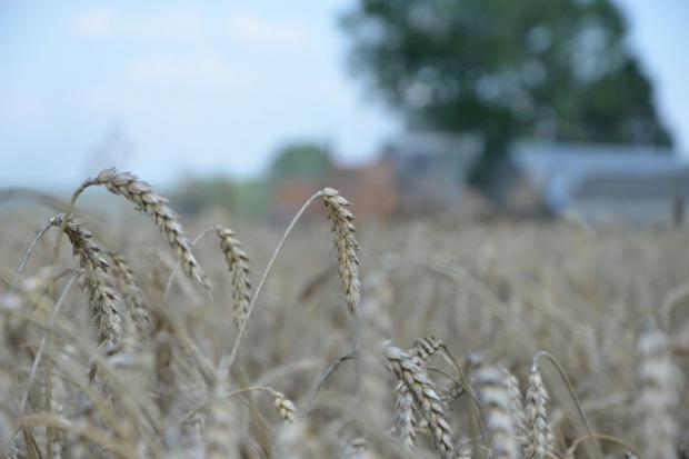 GUS: 70 proc. powierzchni zasiewów zajmują nadal zboża