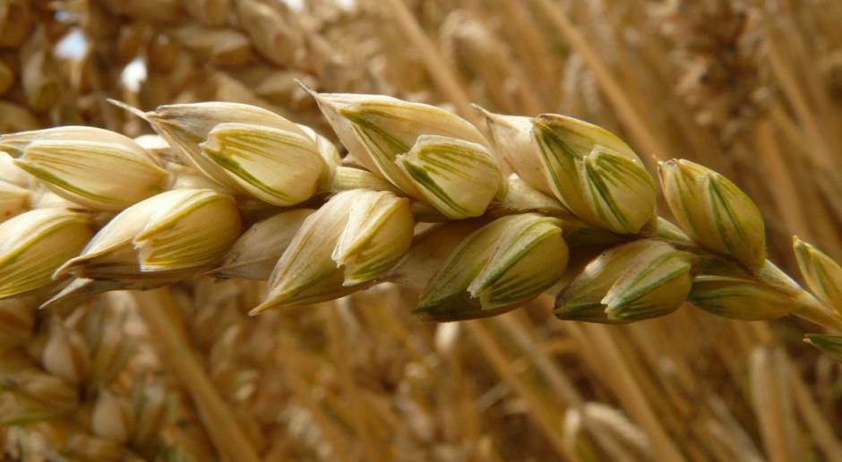 Po serii spadków cena pszenicy wzrosła