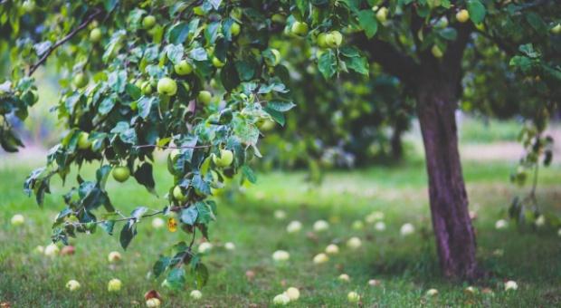 Na Suwalszczyźnie odtwarzają tradycyjne sady
