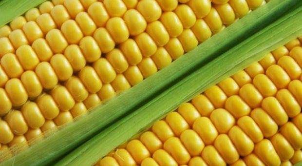 Rosja tymczasowo zawiesi import kukurydzy i soi z USA
