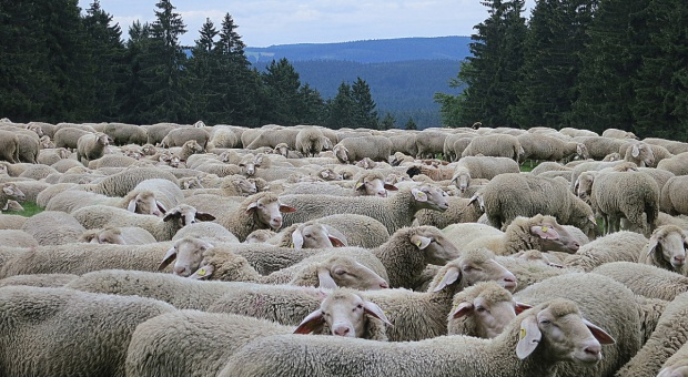 Wzrosło pogłowie owiec w Polsce