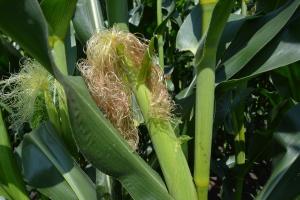 Ukraina wyeksportuje więcej zbóż