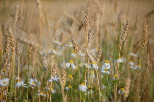 Kolejny spadkowy tydzień zbóż