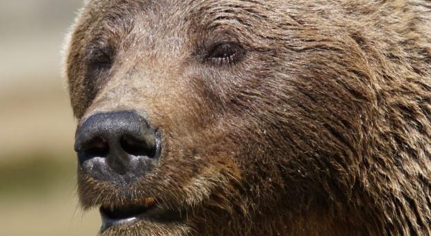 Bieszczady: Owoce w międzyleśnych sadach przysmakiem dla niedźwiedzi