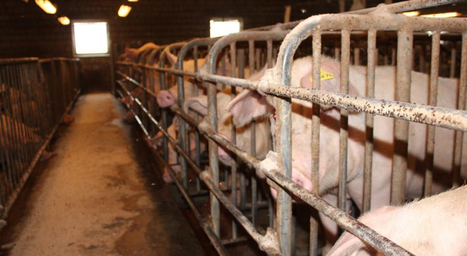 Choice Genetics: Jakość nasienia do inseminacji loch ważna dla rolników
