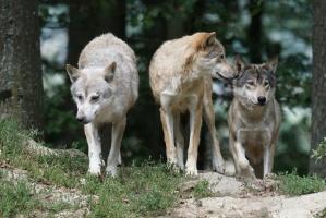 Wilki w Polsce Zachodniej mają się coraz lepiej